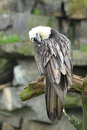 Bearded vulture the sitting on the tree Stock Image