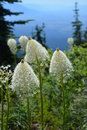Beargrass Montana