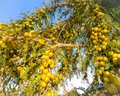 Bearing of gooseberry at winter season Royalty Free Stock Photo