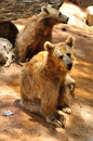 Bears brown in safari park central israel Royalty Free Stock Photo