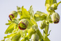Bears foot helleborus foetidus old medicinal plant Royalty Free Stock Photography