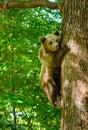 Bears in a forest from Zarnesti natural reserve, near Brasov, Transylvania, Romania Royalty Free Stock Photo