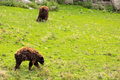Bears on a hill two walking Royalty Free Stock Images