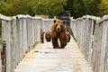 Bears. Kamchatka.