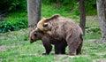 Bears two brown in the wild photo taken on jun Stock Photo