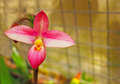 Beatiful flower of red oriental orchid spain Royalty Free Stock Photos