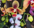 Beatiful flower of red and yellow oriental orchid spain Royalty Free Stock Photo