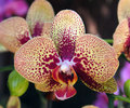 Beatiful flower of red and yellow oriental orchid spain Stock Image