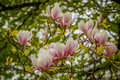 The beatiful pink bloom of magnolia, Canada Royalty Free Stock Photo