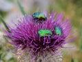 Beatles on wild flower thistle detail of purple mountain meadow Royalty Free Stock Photos