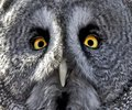 Beau the great grey owl in lincoln Stock Image