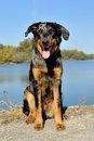 Beauceron Royalty Free Stock Image
