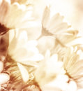 Beautiful abstract floral background tender beige flowers spring blossom sunny day old grunge photo Stock Photography