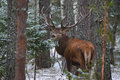 Single Adult Noble Red Deer  Cervidae  With Big Horns On Snowy Grass Field At Foggy Forest Background. European Wildlife Landsca