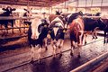 Beautiful agrarian image with cows on a modern livestock farm