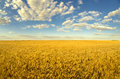 Beautiful agricultural landscape showing ripe wheat in summer