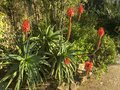 stock image of  Beautiful aloe vera red flowers with green leaves.
