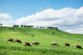Beautiful alpine landscape with green hills and a herd of cows Royalty Free Stock Photo