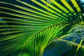 amazing closeup detailed view of a natural green palm leaf, lit by sun rays in tropical garden Royalty Free Stock Photo
