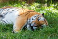 Beautiful Amur Tiger Lying Down Resting in Grass Stock Images