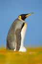 Beautiful animal in the grass. King penguin, Aptenodytes patagonicus sitting in grass with tilted head, Falkland Islands. Bird wit