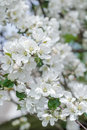 Beautiful apple tree pink and white flowers on spring branch Royalty Free Stock Photo