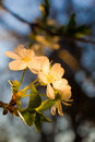 Beautiful apricot flowers lit by sunlight Royalty Free Stock Photo