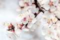 Beautiful apricot white flowers slightly blurred Stock Photography