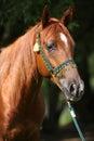 Beautiful arabian horse with nice show halter Royalty Free Stock Photo