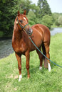 Beautiful arabian horse with nice show halter in front of river Stock Image