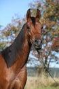 Beautiful arabian mare Royalty Free Stock Photo