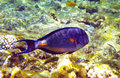 Beautiful arabian surgeonfish underwater deep red sea Royalty Free Stock Photography