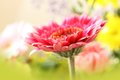 Beautiful, artistic gerbera flower Royalty Free Stock Image