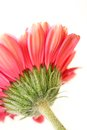 Beautiful, artistic gerbera flower Royalty Free Stock Photos