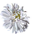 Beautiful Aster flower isolated on white