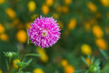 Beautiful Aster flower in a summer garden Royalty Free Stock Photography
