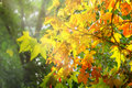 Beautiful autmn leaves the sun s rays on the Stock Photography