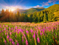 Beautiful autumn landscape in mountains with pink flowers. Royalty Free Stock Photo