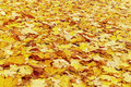 Beautiful autumn leaves background (texture). Natural red, orang and yellow maple leaf. Royalty Free Stock Photo