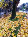 Beautiful autumn leaves dropping from the tree Royalty Free Stock Photo