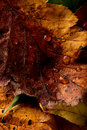 Beautiful autumn leaves macro red yellow colors closeup Royalty Free Stock Photo