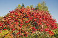 Beautiful autumn stahhorn sumac rhus typhina leaves in park Stock Images