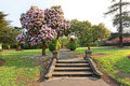 Beautiful azalea tree with old steps Stock Photo