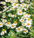 Beautiful background of daisies. Green grass and chamomiles