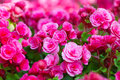Beautiful background of flowers big begonias Royalty Free Stock Photo