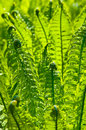 Beautiful background of green fern leaves Royalty Free Stock Image