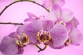 Beautiful background of leopard Phalaenopsis orchid flowers. Royalty Free Stock Photo