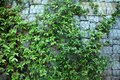 Background made of green climbing plant on the wall of stones
