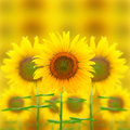Beautiful background of nature of sunflower Royalty Free Stock Images