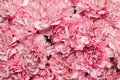 Beautiful background of pink carnation Royalty Free Stock Photo